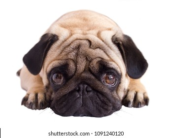 Pug dog isolated. Looking sad with the big eyes