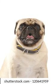 Pug dog isolated on white background. Wrapping his tongue.   Studio shot.
