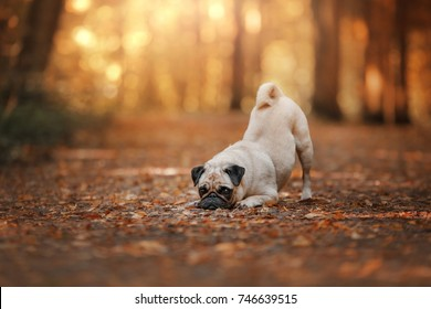 the pug dog laid his head on the leaves