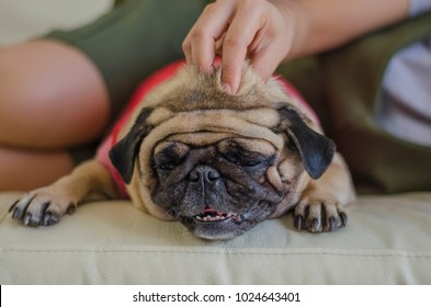 Pug dog lay on the bed has massage from young hand with blurred people background.