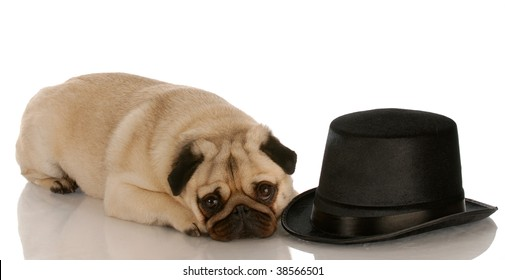 pug dog laying down beside formal black top hat