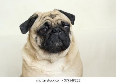 Pug  Dog look Sad