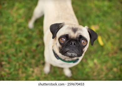 Pug Dog Looking Up at Camera