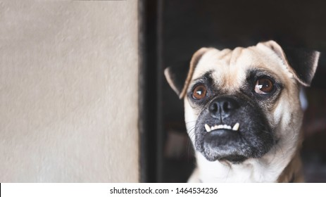 Pug dog looking up and waiting for owner coming home after working with white wall background at home. Lovely pet and cute dog. Best friend of human concept. Overbite and big eyes funny face dog theme