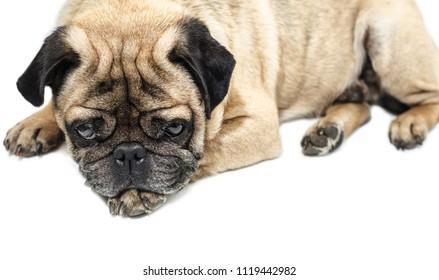 Pug dog lying close-up on a white background