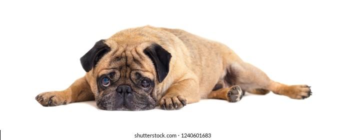 Pug dog lying close-up on a white isolated background