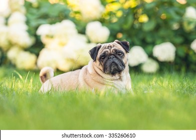 Pug dog lying on the lawn in summer