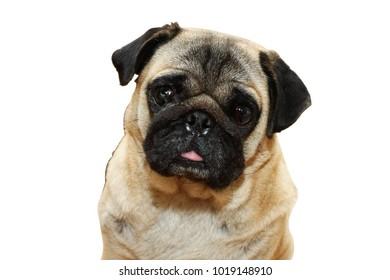 Pug dog male 3 year old