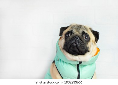 Pug dog in  mint clothes   looks  at the place for  text . Clothing  and goods  for animals  and advertising  concept .