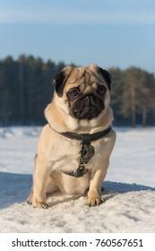 Pug dog on white snow. Sad Pug dog.