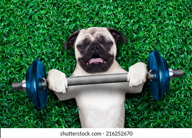 pug dog as personal trainer lifting a very heavy dumbbell bar having trouble with it