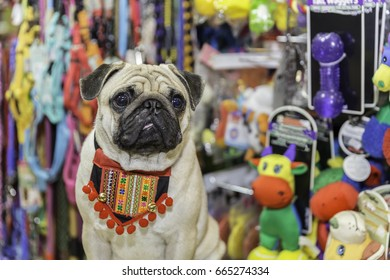Pug dog in pet store