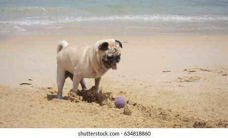pug dog playing with a ball on sand beach