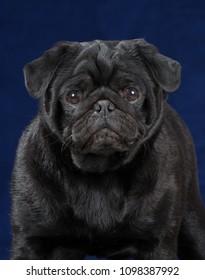 Pug dog portrait isolated on blue                                         background