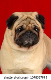 Pug dog portrait isolated on red background