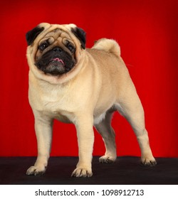 Pug dog portrait, standing half side profile, isolated on red background, in studio.