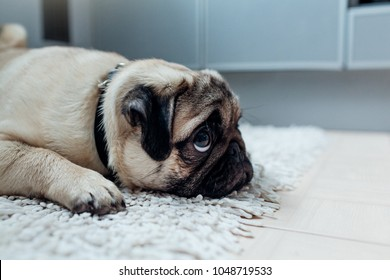 Pug dog was punished and left alone on the kitchen