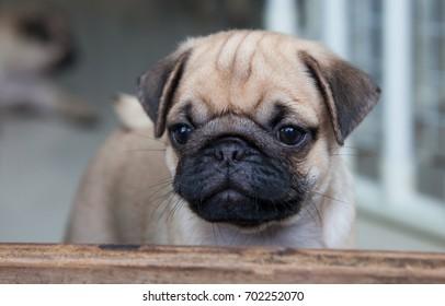 Pug Dog Puppy