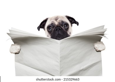 pug dog reading a blank white empty newspaper isolated on white background