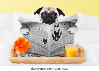 pug dog reading the newspaper and having breakfast in bed