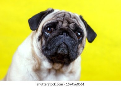 Pug dog with sad big eyes sits on a yellow background and looks at camera