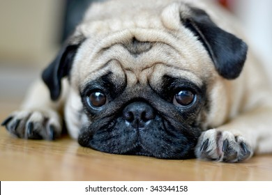 Pug Dog Sad puppies.Sleep rest on floor