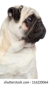 Pug dog, side portrait on white background