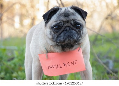 a pug dog with a sign on his neck I will lease in English, during the quarantine period to walk the dog