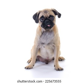 Pug dog Sitting in front of white background, front view, high key, square image