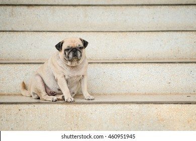 Pug dog sitting on marble stair to guard office.