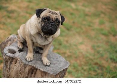 The pug dog sitting on a stump .