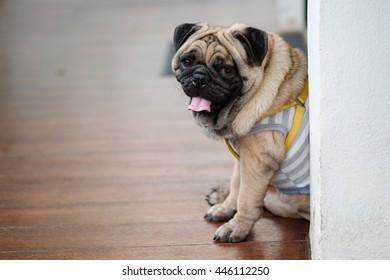 Pug dog sitting on wooden floor.