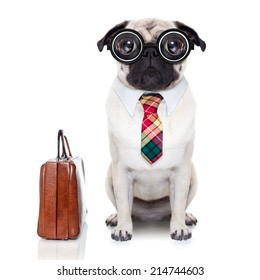 pug dog with suitcase going to work with nerd glasses and big ugly eyes,isolated on white background