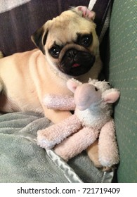Puggy sue getting bath stock photo royalty free 1028747590 pug dog with a toy lying on bed altavistaventures Images