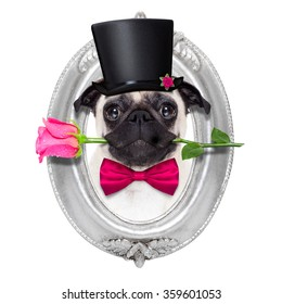 pug  dog with valentines rose in mouth inside a frame isolated on white background
