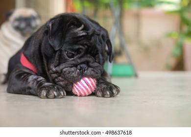 Pug dog Waiting to play weave handmade ball.