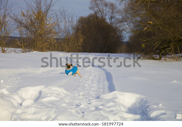 Pug dog walking in winter. Dog dressed in blue overalls. Bright frosty winter day in the countryside.