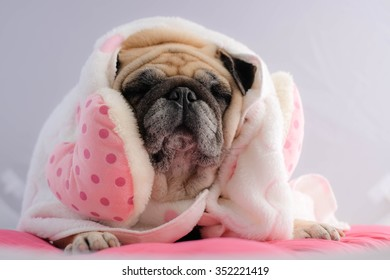 The pug dog wearing pink dot and towel in the winter.