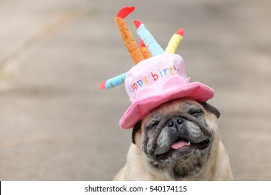 Pug dog wearing Pink happy birthday hat with blurry background.