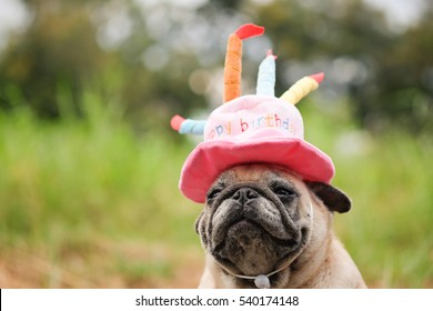4f81c5e1c8ed8 Pug dog wearing Pink happy birthday hat with blurry background.