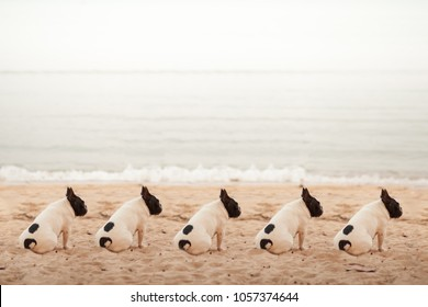 Pug dogs sit on the beach in a neat row, they have the same white stripes.
