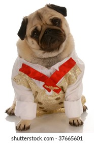pug dressed up in men formal shirt and tie