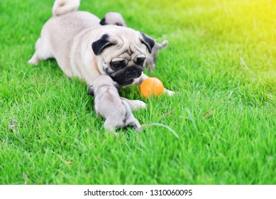 Pug family, Cute puppies brown Pug playing with their mother in green lawn