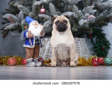 Pug in front of a Christmas tree. A toy santaclaus stands nearby. The dog is ready for the holidays,