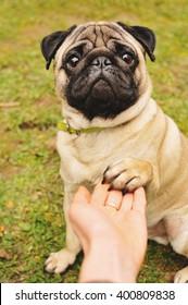 Pug giving paw