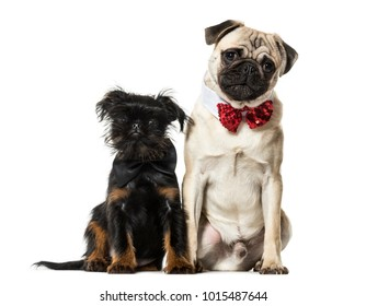 Pug and Griffon sitting together against white background