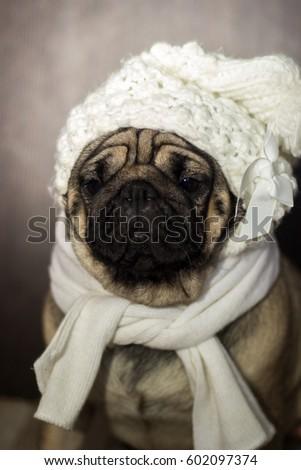 Pug Hat Scarf Stock Photo (Edit Now) 602097374 - Shutterstock aee4c87e326