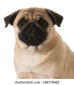 pug head portrait isolated on white background