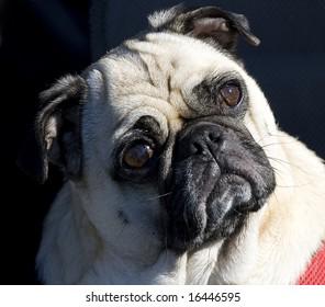 Pug looking confused.