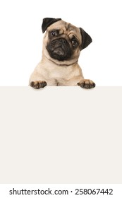 Pug looking over a wall
